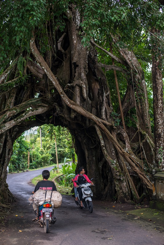 Bunut Bolong Tree Bali 2