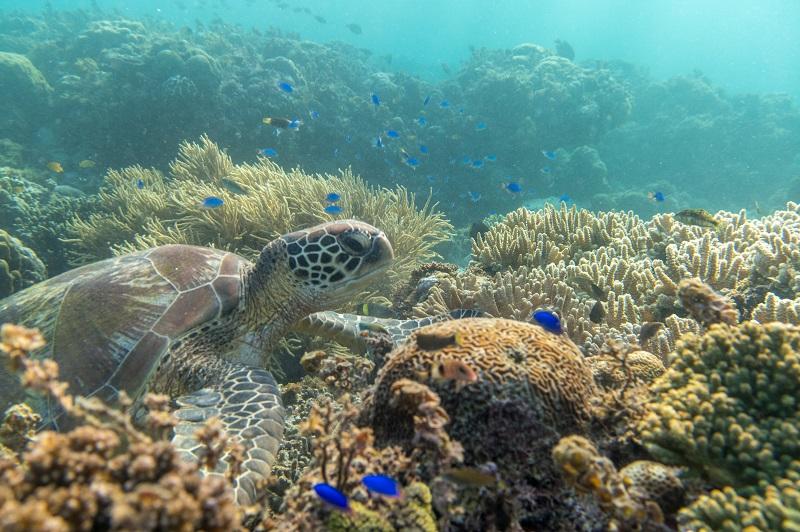Moalboal Turtle - Cebu Island - The Philippines - Banana Journey